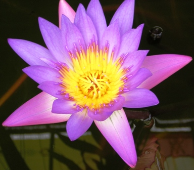 Lotus flower - Hue - Vietnam